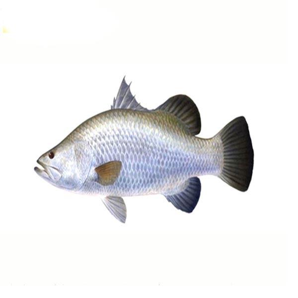 Koral Fish 699tk/Kg (Net Weight 4-5 Kg) কোরাল মাছ 599/KG(ওজন 4-5 কেজি )