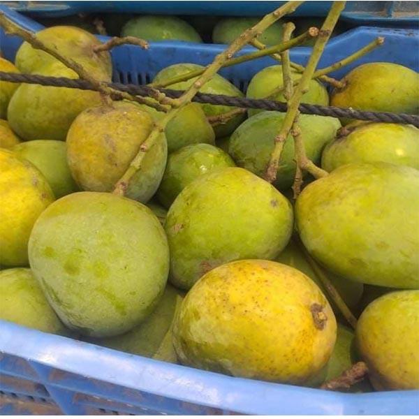 Mango Himsagor 3-4Pic/1 kg (হিমসাগর আম  1 কেজি )